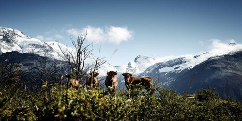 Kühe pupsen nicht nur für's Ozonloch. Ohne sie gäbe es uns gar nicht!